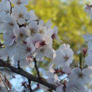 桜が見ごろを迎えております(^_-)-☆